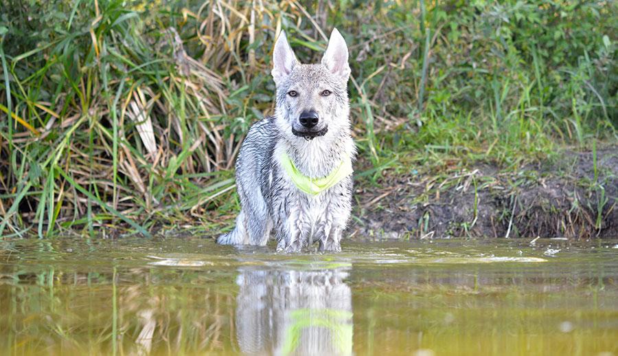Чехословацкий волчак после купания в озере