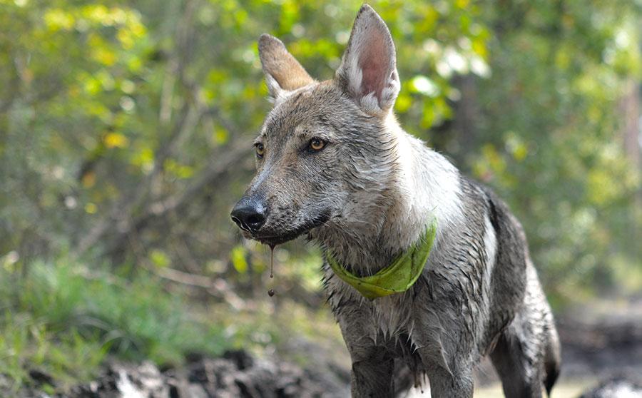 Отличие хаски от волка.