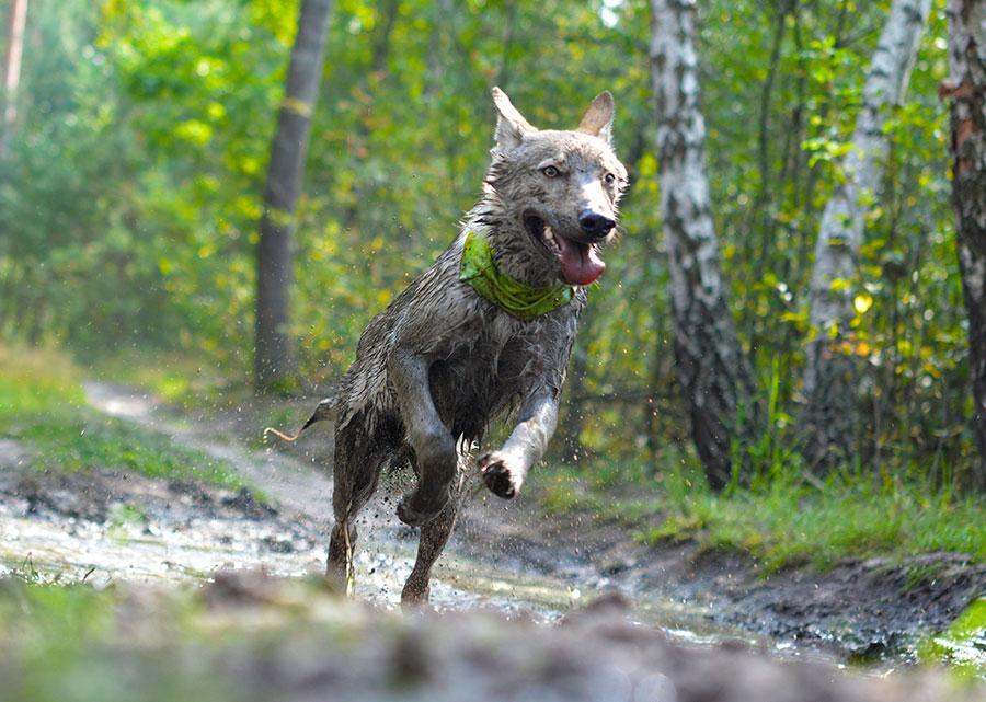 Прыжок волка.