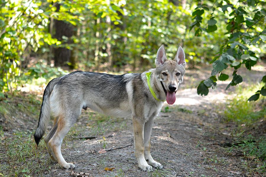 Худой волк