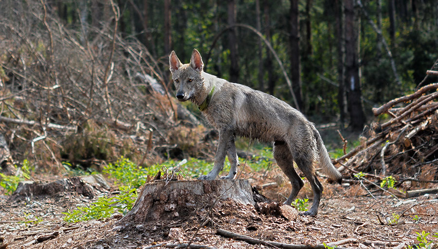 Чехословацкий волчак на лесопилке.