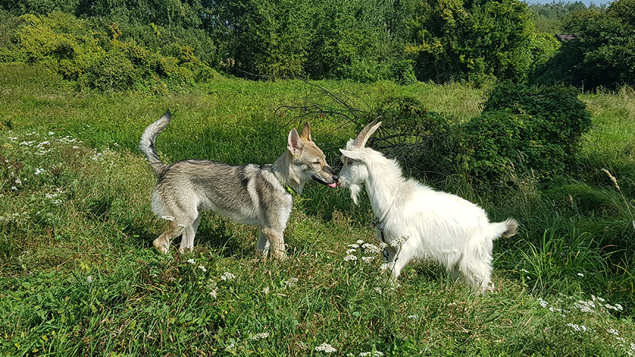 Волк играет с козлом