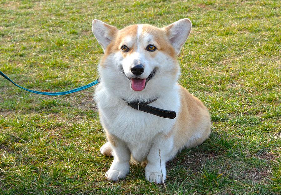 Собака которая улыбается.