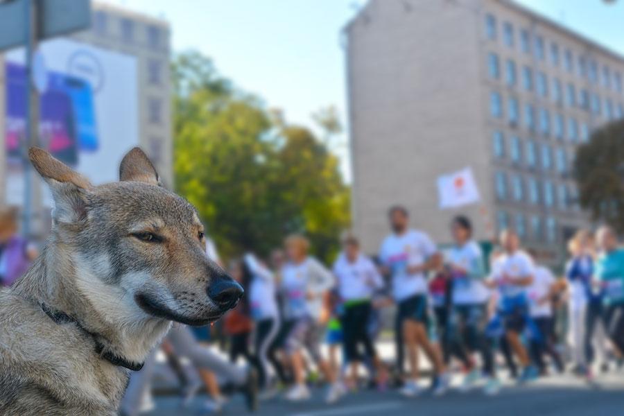 Волк на kyivmarathon