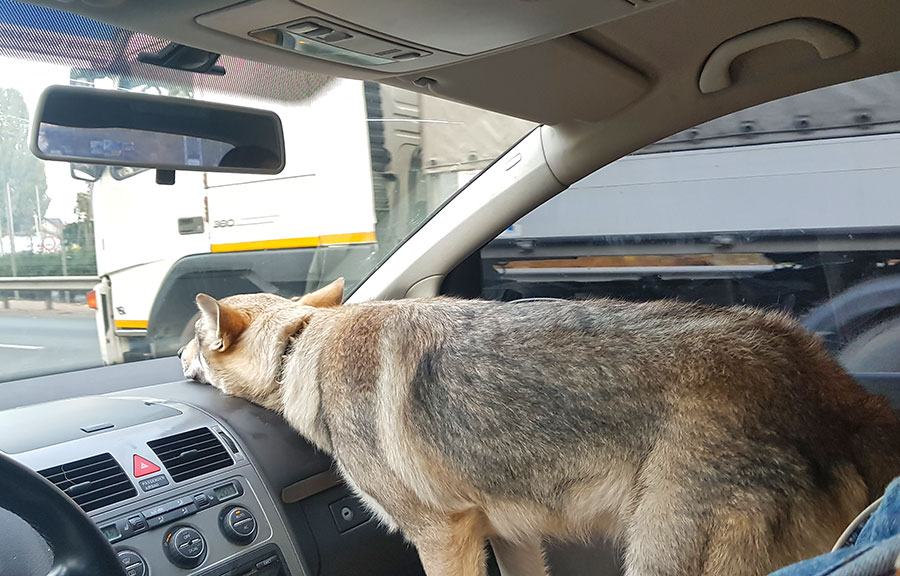 Волк за рулем автомобиля