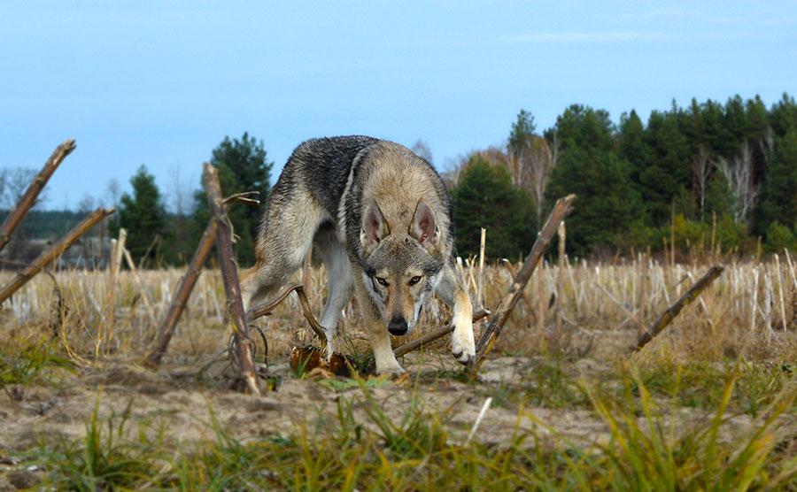 Взгляд волка перед атакой