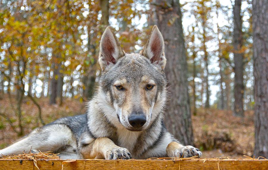 Морда чехословацкого влчка