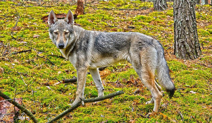 волк позирует на камеру