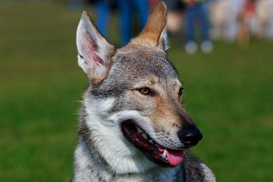 Чешский волчек Хуго