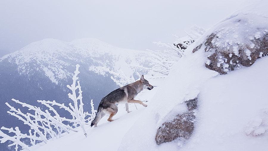 Влчак в горах