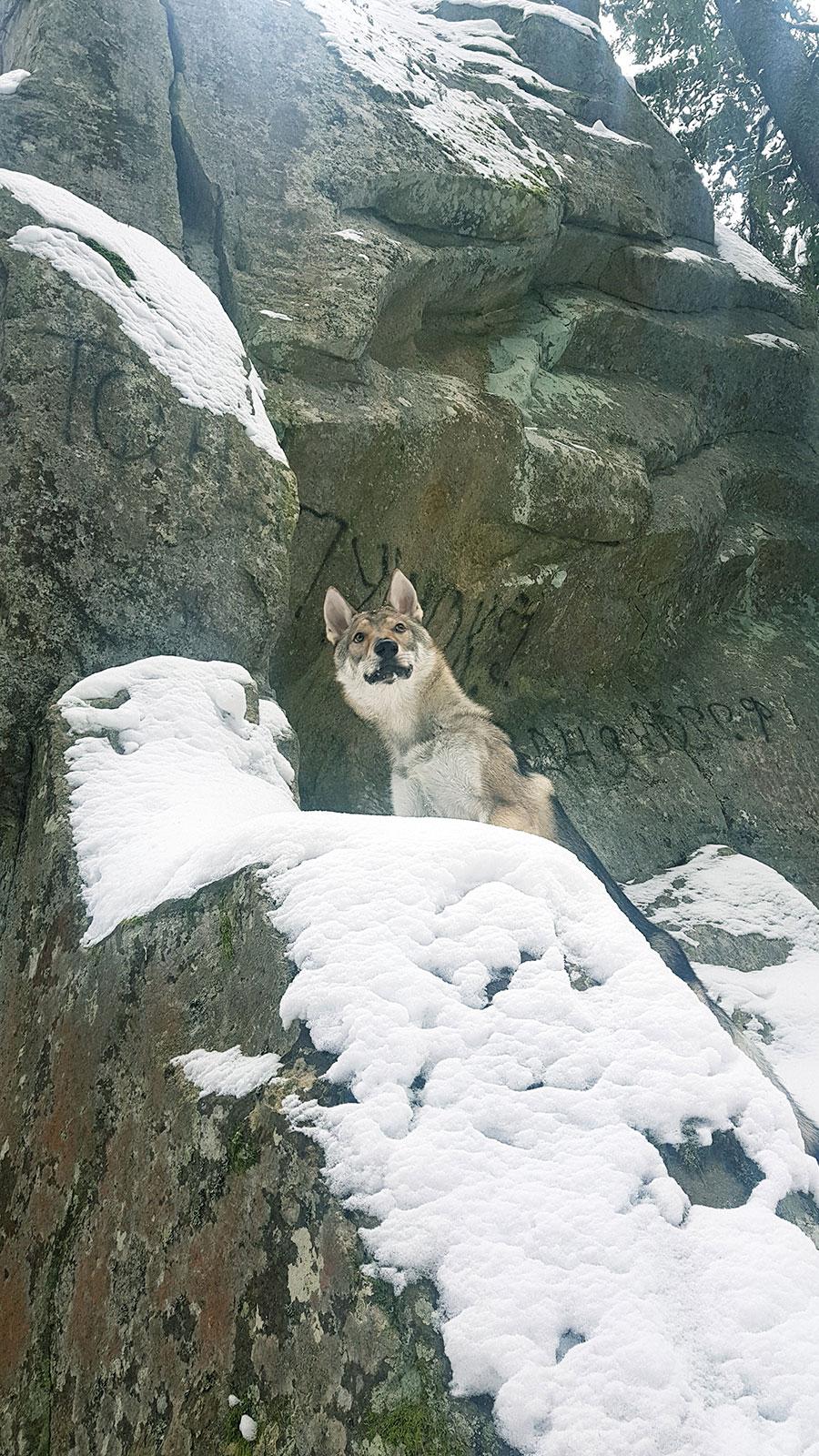 Собака альпинист