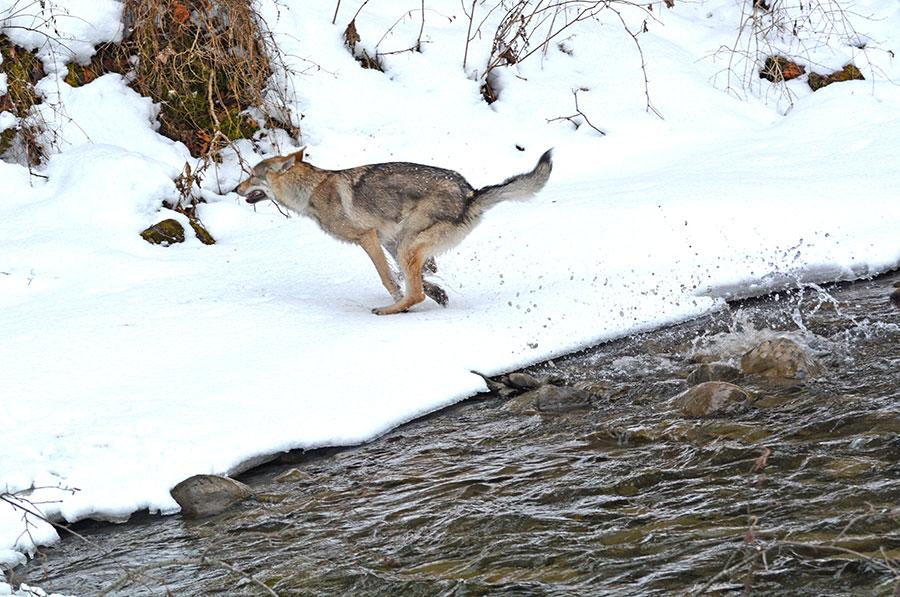 Собака в горной речке