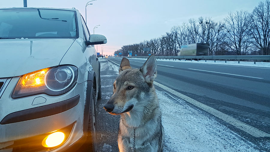 Чехословацкий волчак Хуго едет домой