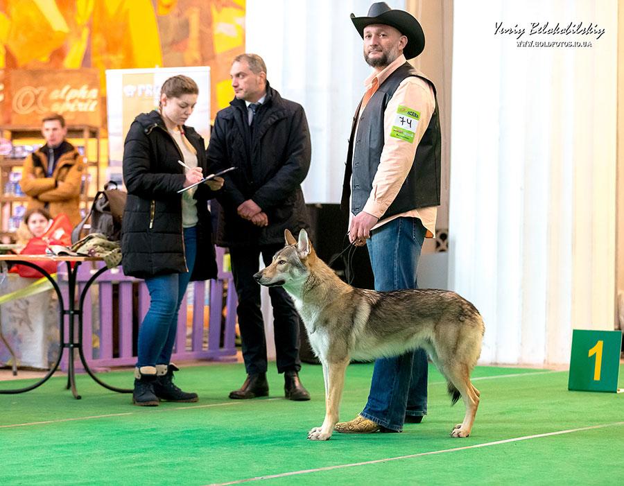 Чехословацкий волчек на выставке собак