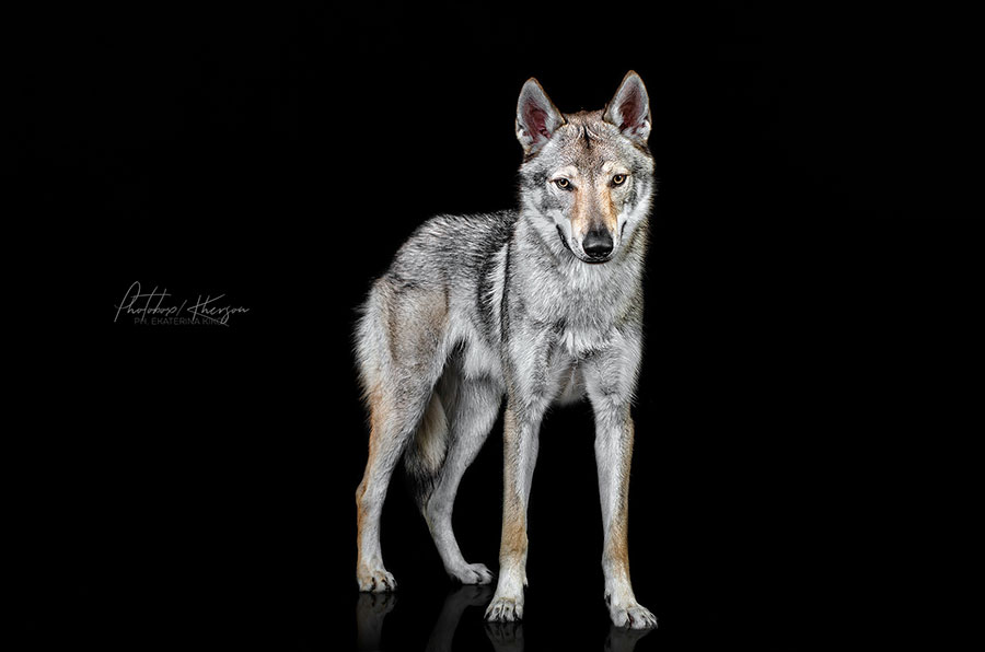 Постер - волк на черном фоне