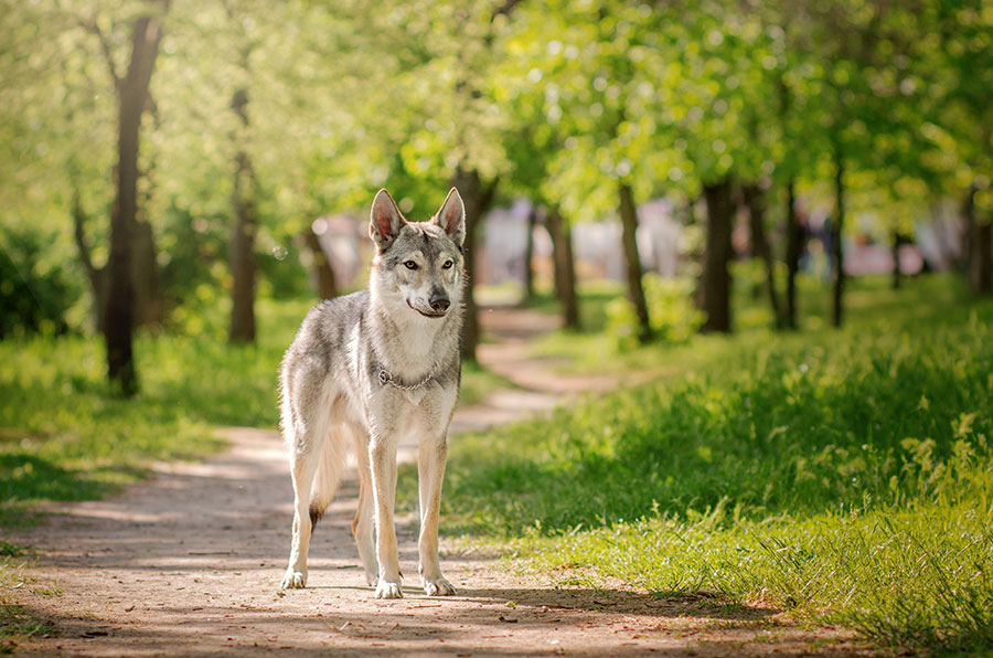 Бесподобные фото волка и весенней свежести природы