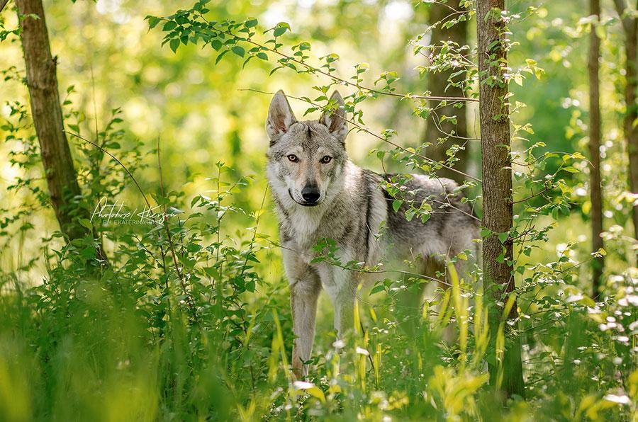 Волк в лесной чаще