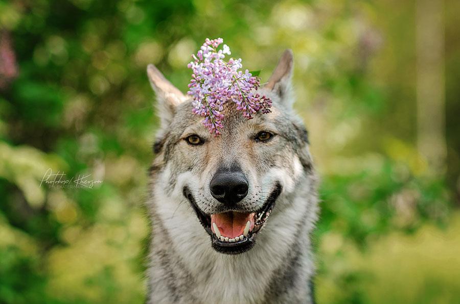 Волк и сирень
