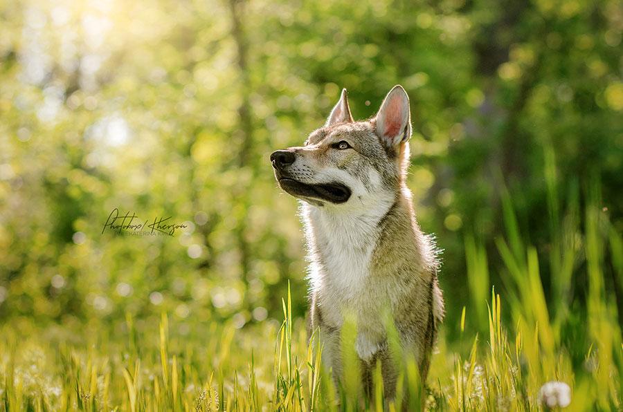 Мечтающий волк