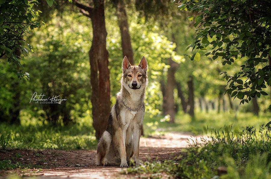 Волк в весеннем лесу