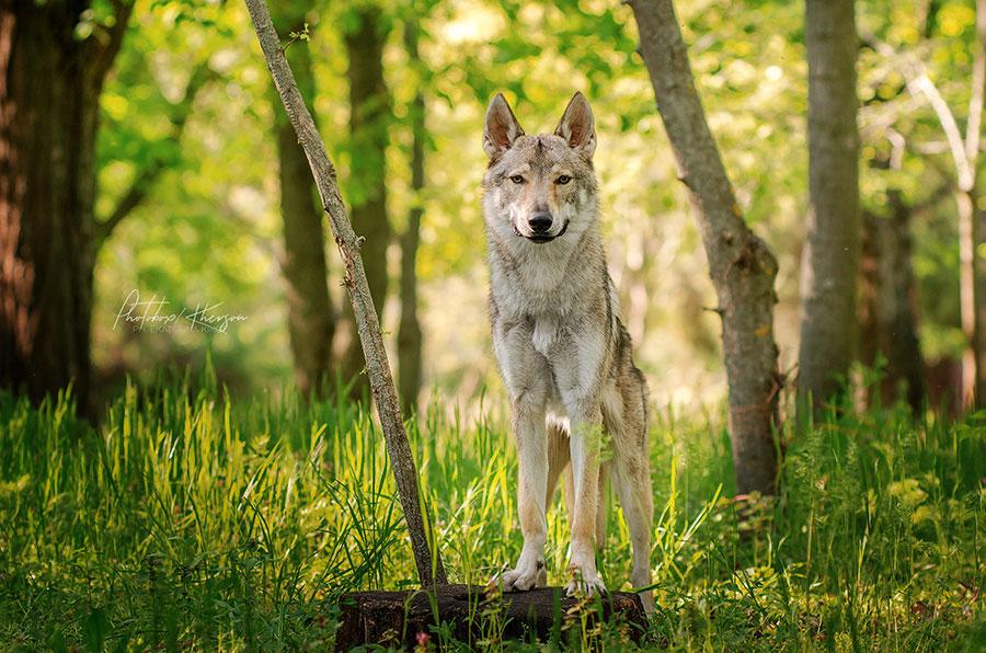 Волк в профиль