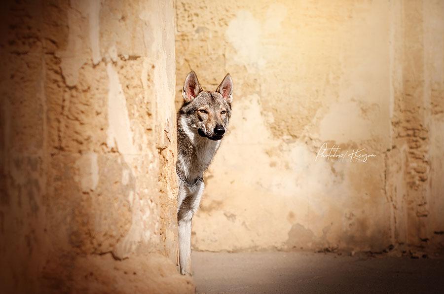 Волк наблюдает за добычей