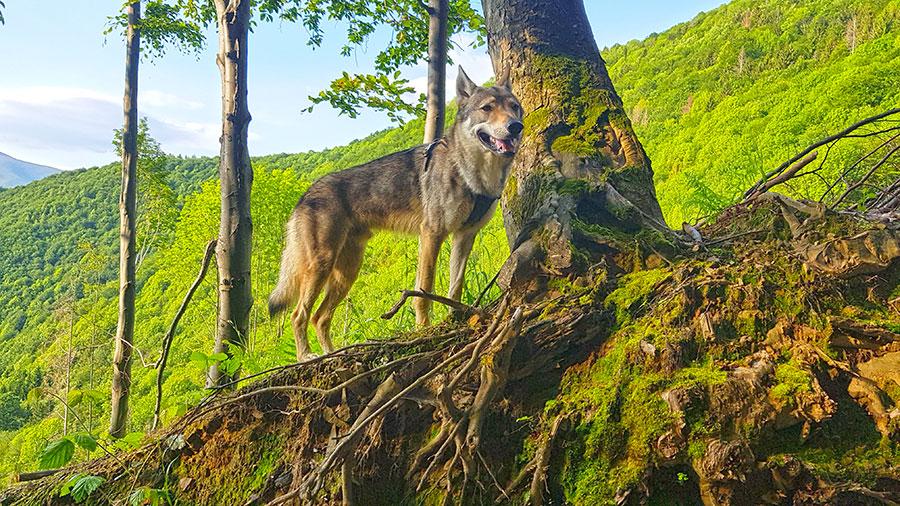 Волк и коряга
